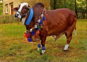 Cattle-Farm-2013-Special-Cow-Mandi-Photos_680